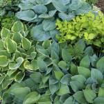 12 Best Companion Plants For Hostas Longfield Gardens