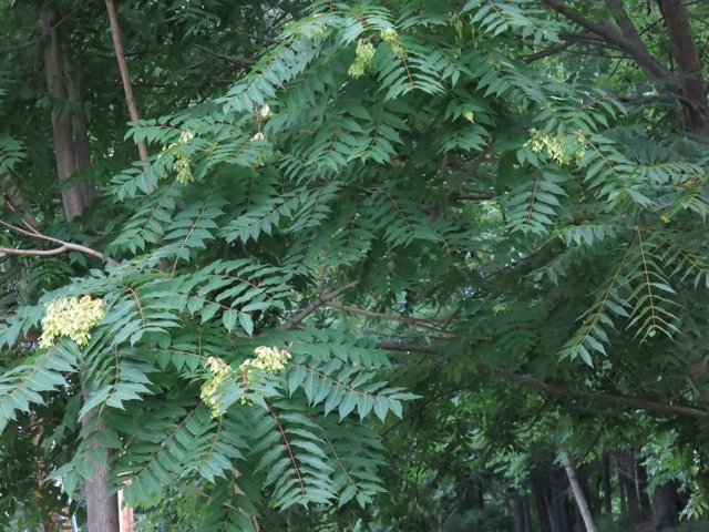 ailanthus
