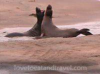 Elephant Seals playing at San Simeon, California