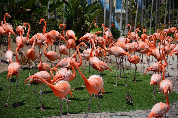 San Diego Zoo CA Flamingos