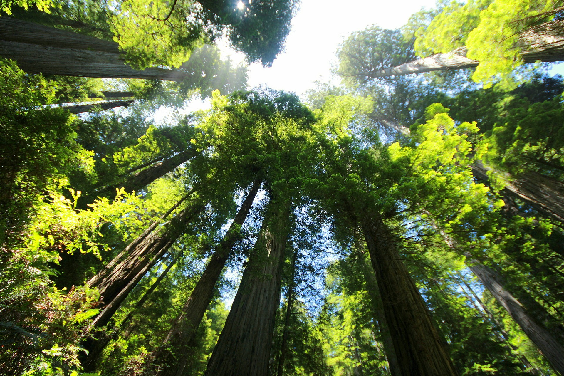 Giant Redwood Sequoia Trees, Muir Woods, Marin County, California