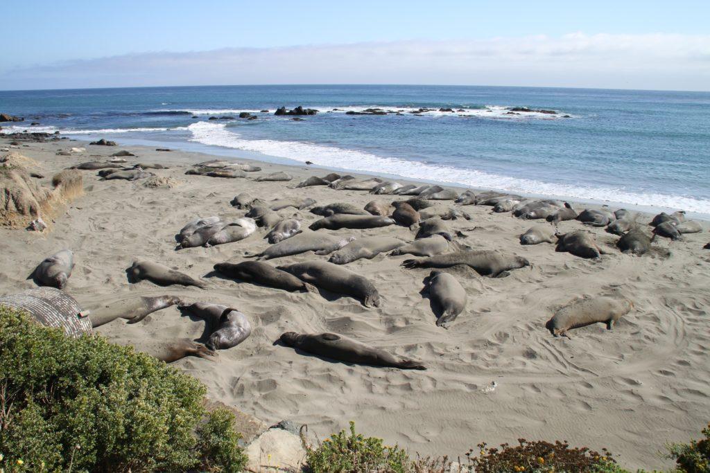 Elephant Seals, Central Coast of California