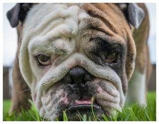 Reuben the Bulldog by Mike Melnotte
