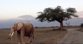 Mt. Kilimanjaro And Elephant