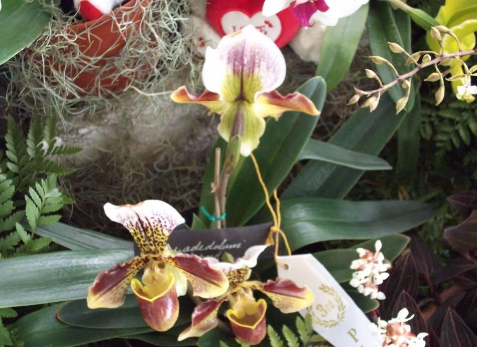 Photo credit: Ocho Rios Orchid Show Jamaica