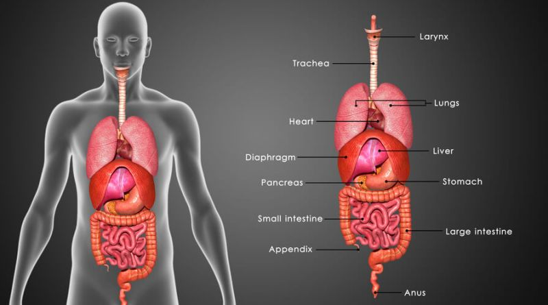 Stomach Functions Diseases Stomach Ache