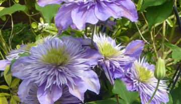 Expert Clematis Care With The Sunday Gardener