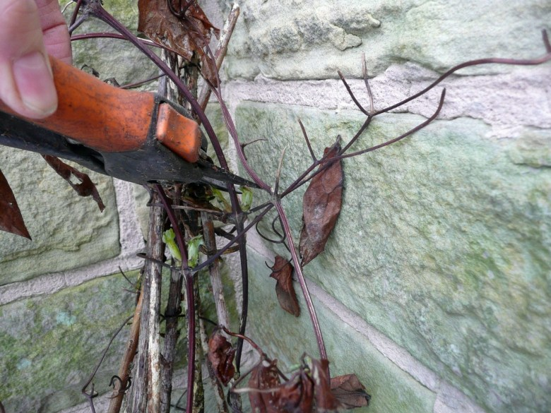 clematis success how to grow the handy mano manomano the sunday gardener pruning clematis