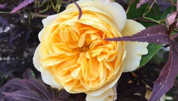 Summer Rose Care With Jenny Williams