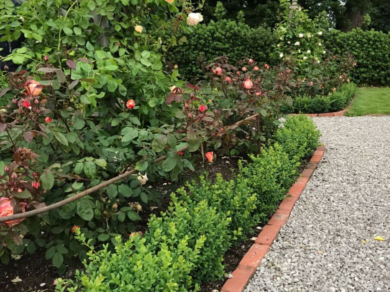 summer rose care how to care for roses the handy mano manomano the laundry rocks jenny williams