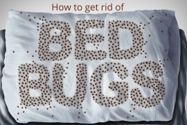 how to get rid of bed bugs exterminate infestation do it yourself diy the handymano handy mano mano pest control mattress pillow infestation