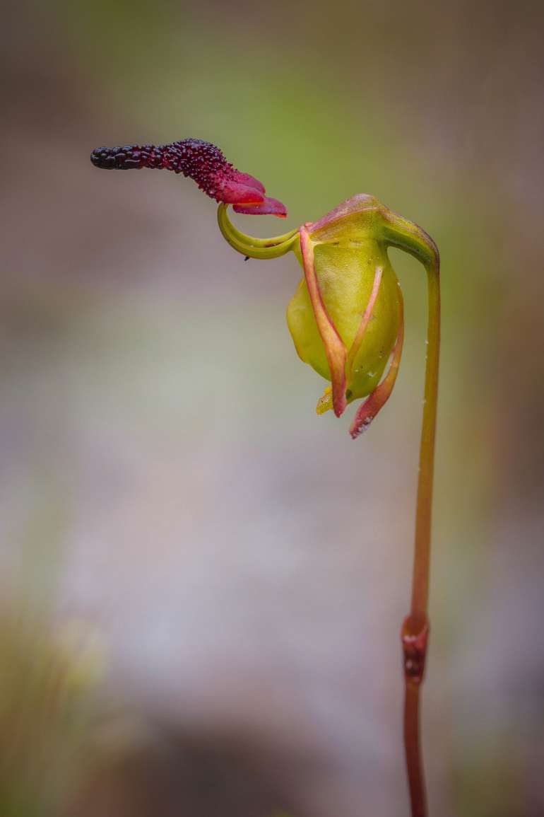 thehandymano mano mano weird flowers Flying Duck Orchid (Caleana major
