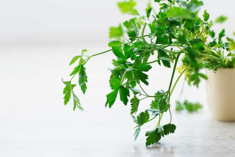 thehandymano mano mano Herb Gardening for Beginners parsley