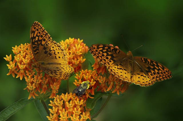 thehandymano mano mano low maintenance flowers asclepias plant butterfly weed