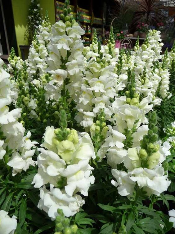 How to Help the Bees bee Friendly Plants the handy mano thehandymano mano mano garden gardening honeybee snapdragons
