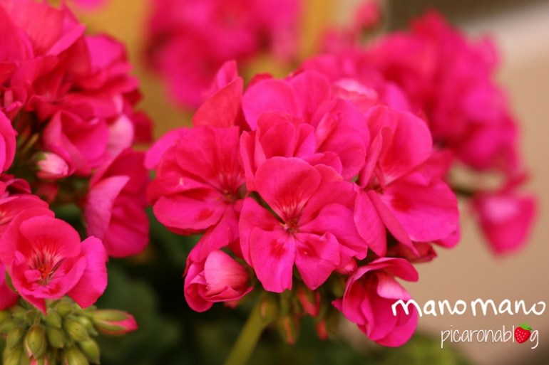 thehandymano manomano prune plants geraniums cutting prune