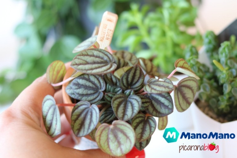 exceso-sol-peperomia