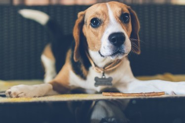 Beagle with Pet ID tag