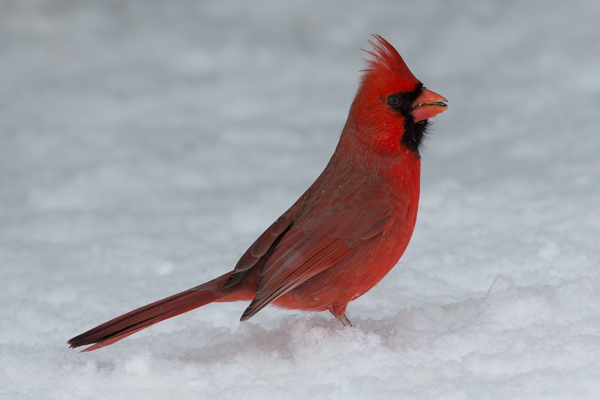 A Collection Of Cardinals In The Snow Martin Belan