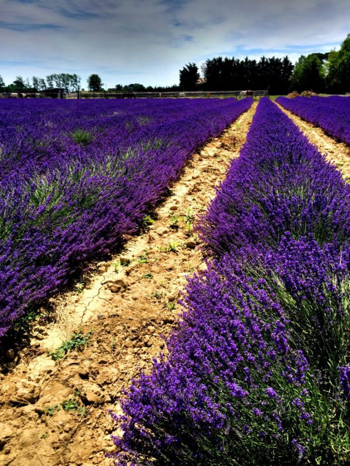 Häkellyttävä laventelipelto loistossaan Aimarguessa.