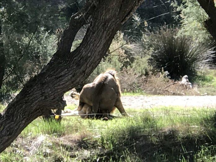Luonto kutsui urosleijonaa...