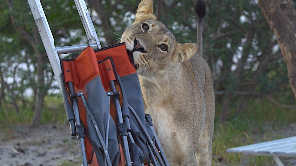 Löwenbesuch