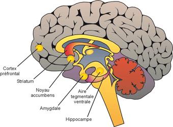 Vue-schematique-du-cerveau-differentes-structures