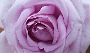 rose-1000500__180