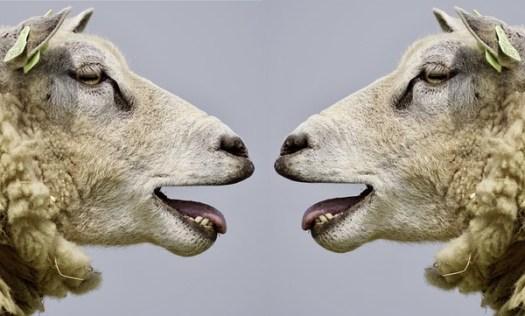 Sheep 2372148 1280 1