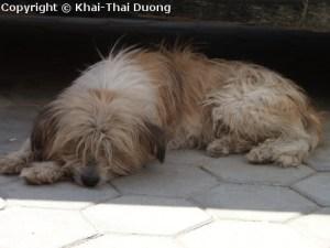 Hunde gelten in Nepal als wichtige Haustüre zum Schutz der eigenen Habseligkeiten.