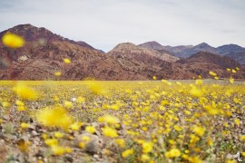 Death Valley Superbloom by Melly Lee (mellylee.com)