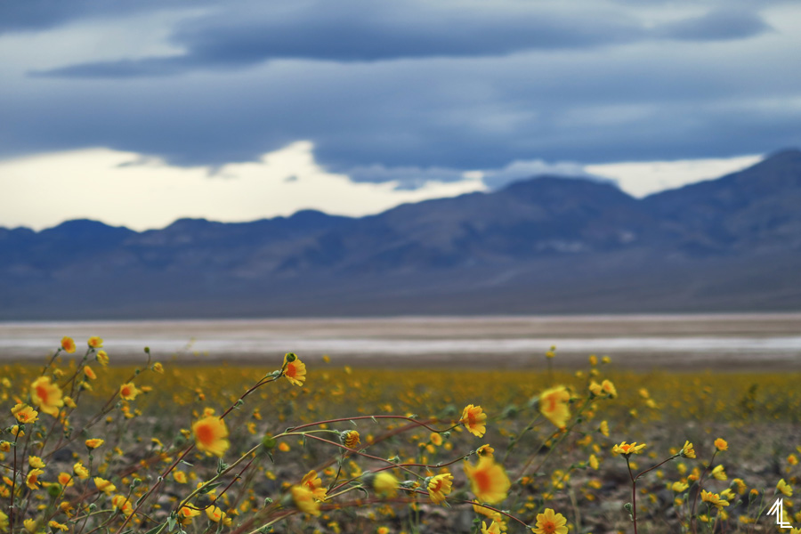 Death Valley Super Bloom by Melly Lee (mellylee.com)