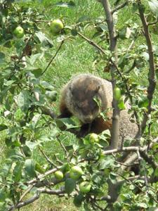 Woodchuck in Apple Tree