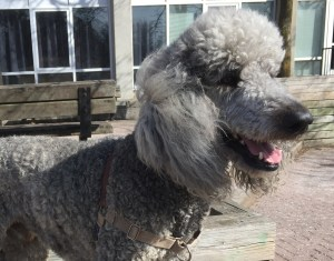 Coby the standard poodle poses for a photo on a park bench