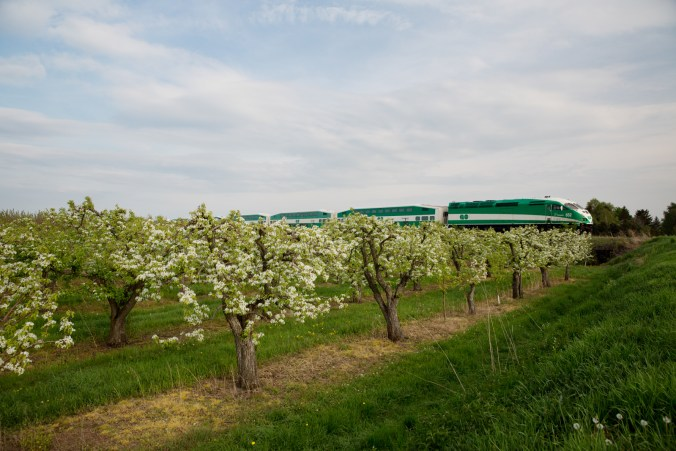 A GO train travels past apple trees in bloom.