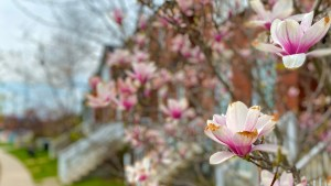 Image shows blossoms on a tree