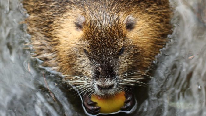 close up shot of a beaver in the water