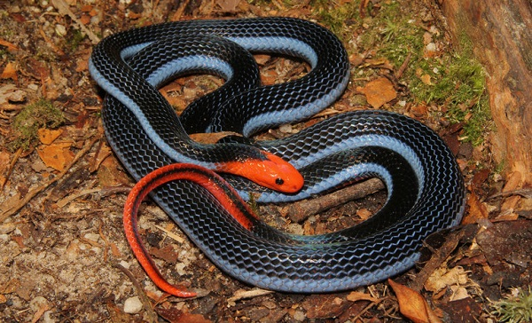 """Fun fact: Java (the island, not the language) is home to lots of dangerous snake species, like the pretty """"blue coral snake"""" above. Source: http://top10reviewspro.com/wp-content/uploads/2014/09/BLUE-KRAIT.jpg"""
