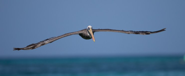 Pelicans are a big feature on Los Roques and can be watched diving for baitfish every day.