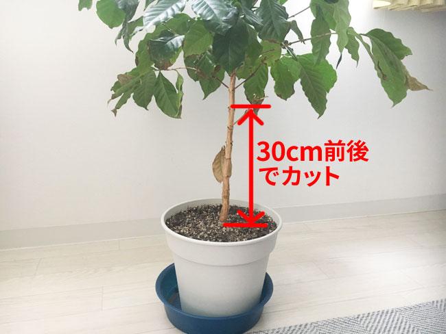 コーヒーの木のカットバックの手順
