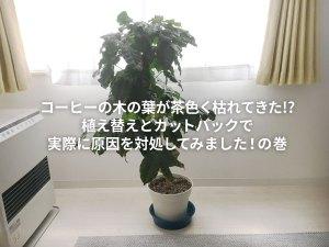コーヒーの木の葉が茶色く枯れてきた!?植え替えとカットバックで実際に原因を対処してみました!の巻