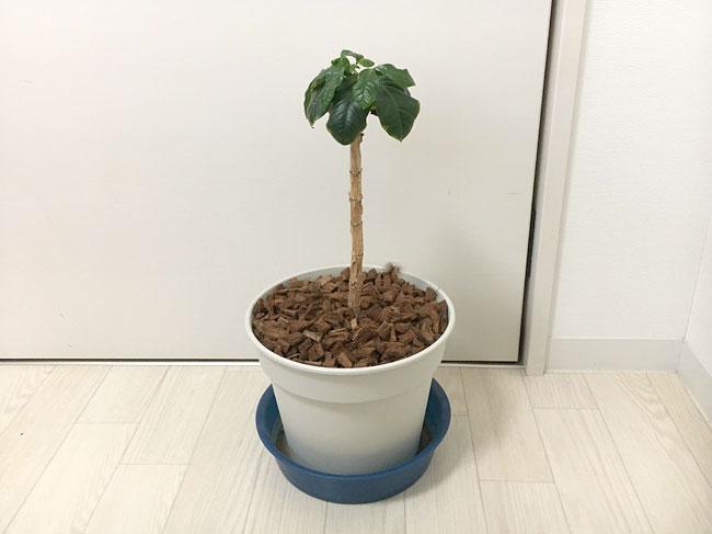 コーヒーの木の成長記録20200513_01
