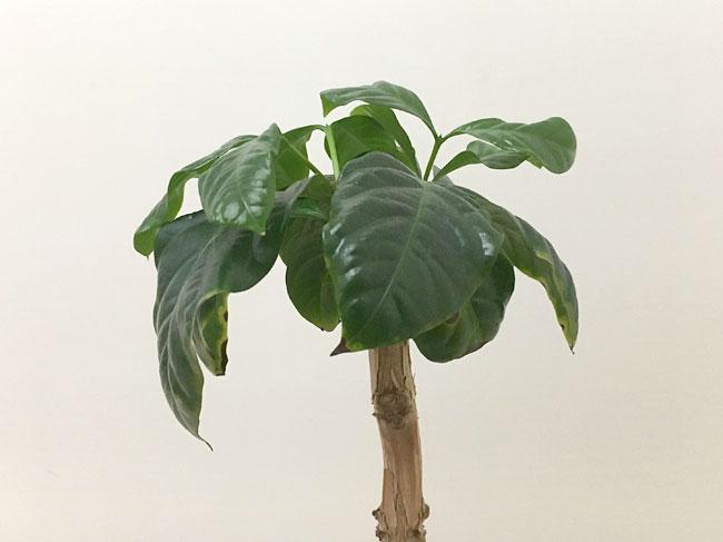 コーヒーの木の成長記録20200513_02
