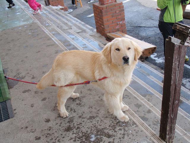 渋峠スキー場の看板犬インディー