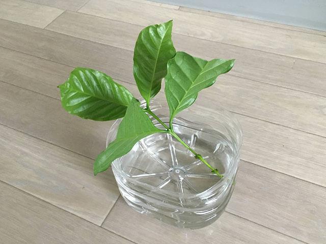 水につけたコーヒーの木の挿し穂