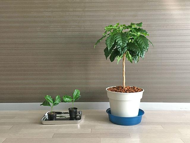 室内で育てるコーヒーの木の親木と挿し木