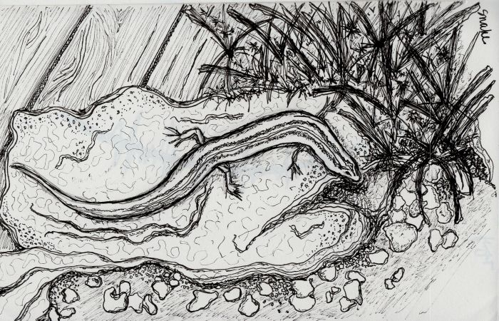 Ink drawing looking down on a skink sitting on a rock in a garden, with gravel and sand on one side and grass and a wood deck on the other.