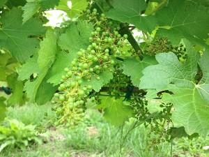 ソーヴィニョンブランの葡萄