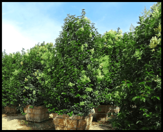 top 10 trees shrubs for a privacy hedge