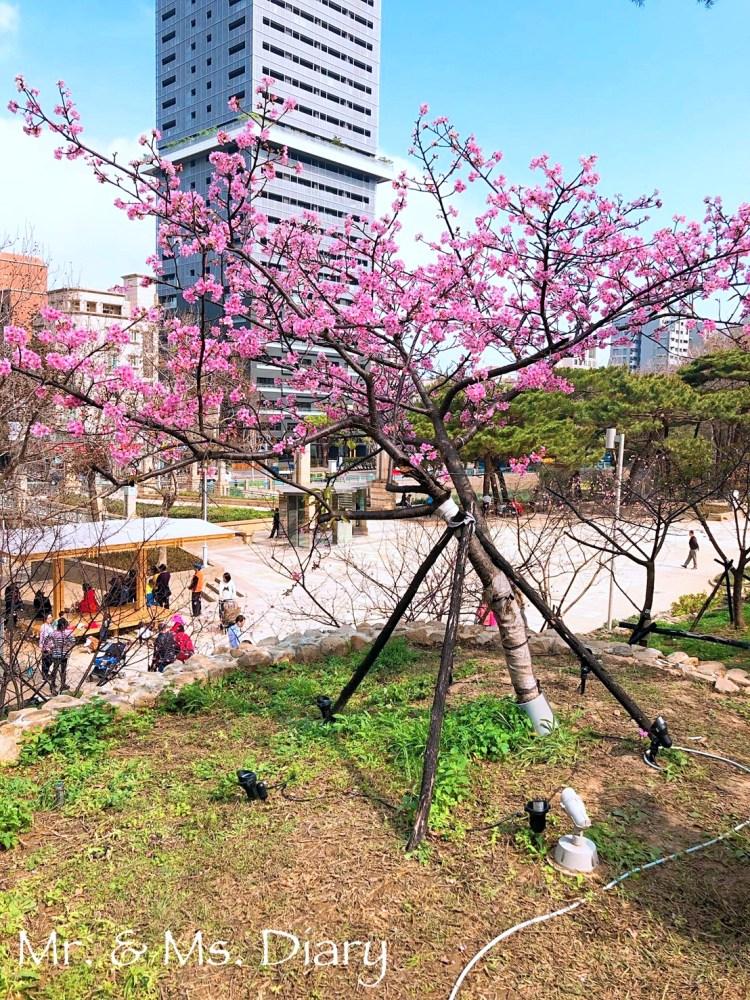 新竹二日遊,行程規劃推薦,香山、超大壽司東門市場,櫻花開滿麗池公園 21